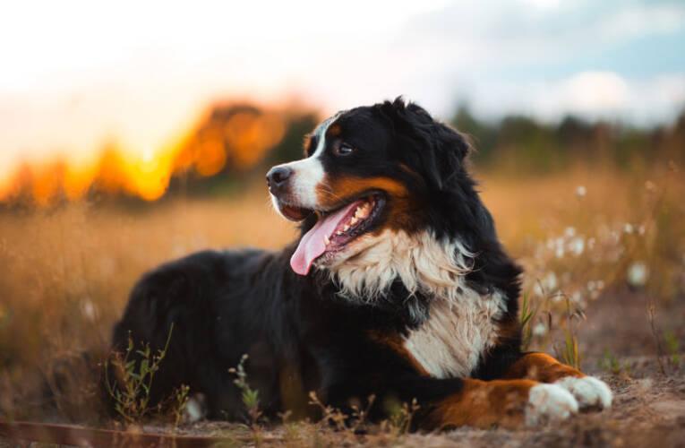 Berneński pies pasterski – charakter, hodowla, cena – Opis rasy
