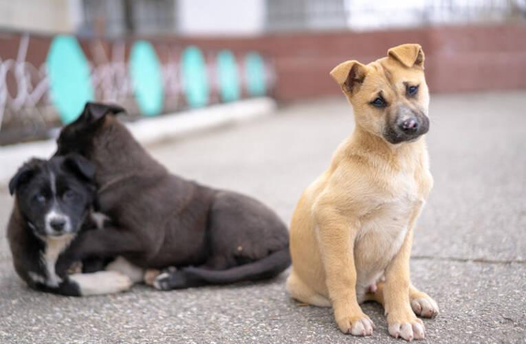 Amstaff (American Staffordshire Terrier) – Opis rasy